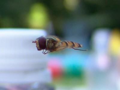 Schwebefliege im Flug