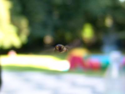 Fliege die wie eine Wespe aussieht von vorn